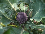 Purple Broccoli Plant